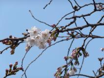 現在は2分桜〜開花情報〜